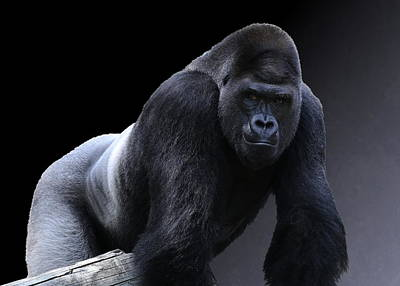 Strong Male Gorilla Art Print