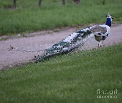 Photograph - Strutin Peacock by Mark McReynolds