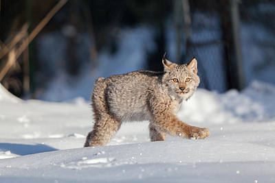 Bobcat Kitten Photograph - Struttin Her Stuff by Sandy Brooks