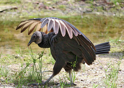 Photograph - Strutting Black Vulture by Carol Groenen