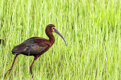 Photograph - Strutting White-faced Ibis In Breeding Plumage by Belinda Greb