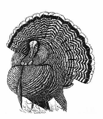 Drawing - Strutting Gobbler by Suzanne McKee
