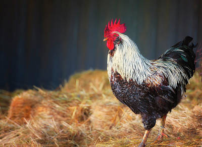 Photograph - Strutting Rooster by Dee Browning