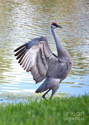 Photograph - Strutting Sandhill Crane by Carol Groenen