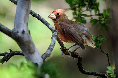 Photograph - Stubby The Northern Cardinal by Debra Martz