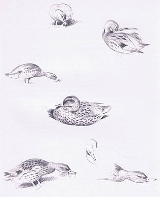 Mallard Duck Drawing - Studies Of Mallard Ducks by Archibald Thorburn