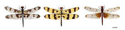 Print featuring the painting Study Of A Banded Pennant A Halloween Pennant And A Calico Pennant  by Thom Glace