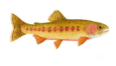 Trout Painting - Study Of A Golden Trout by Thom Glace