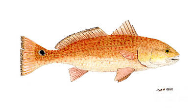 Print featuring the painting Study Of A Redfish  by Thom Glace