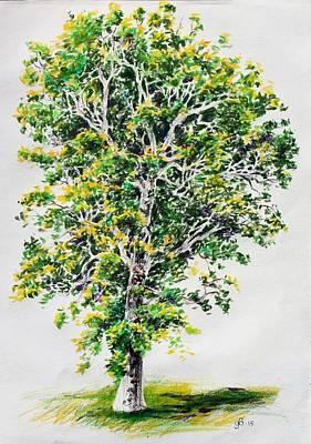 Study Of A Sycamore Tree Original