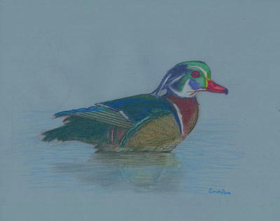 Drawing - Study Of A Wood Duck by Cynthia  Lanka