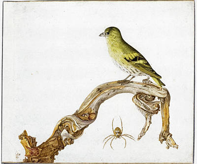Drawing - Study Of A Yellow Canary Sitting On A Branch With Spider by Rochus van Veen