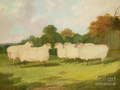 Farmyard Painting - Study Of Sheep In A Landscape   by Richard Whitford