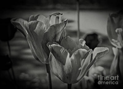 Photograph - Study Of Tulips by Doc Braham