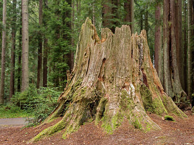 Photograph - Stump In A Forest by Greg Nyquist