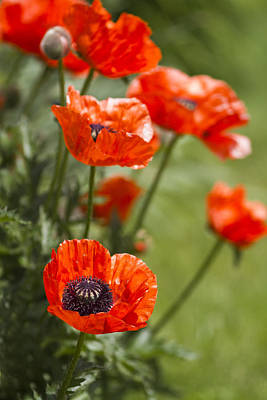 Poppy Photograph - Stunners by Rebecca Cozart