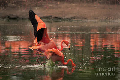 Photograph - Stunning Pink Flamingo's by Doc Braham