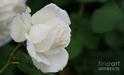 Photograph - Stunning San Jose Tineke Rose by Glenn Franco Simmons