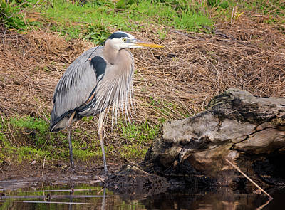 Photograph - Stylish Heron by Loree Johnson