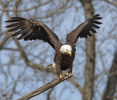 Photograph - Subadult Bald Eagle Drb0251 by Gerry Gantt