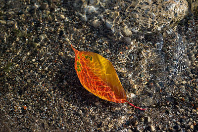 Photograph - Submerged Beauty - Sunny Ripples On A Vibrant Multicolored Cherry Leaf by Georgia Mizuleva