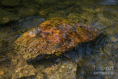 Photograph - Submerged Rock by Chris Scroggins