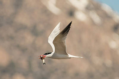 Photograph - Successful Caspian Tern by Loree Johnson