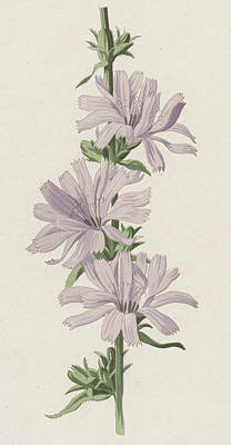 Wild Flowers Drawing - Succory by Frederick Edward Hulme