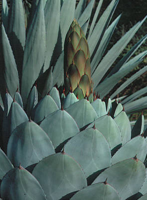 Photograph - Succulent 1 by Andy Shomock