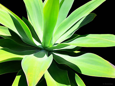 Succulent Agave Art By Sharon Cummings Art Print by Sharon Cummings