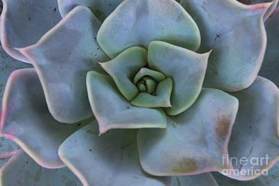 Photograph - Succulent  by Anastasy Yarmolovich