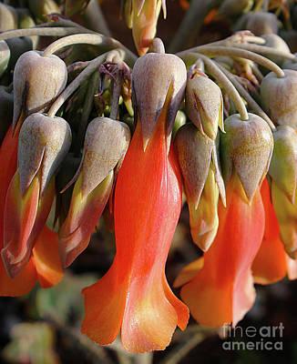 Photograph - Succulent Bells by Kaye Menner