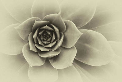 Photograph - Succulent Closeup Abstract Black And White by Ram Vasudev