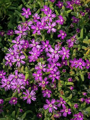 State Love Nancy Ingersoll - Succulent Karoo blooming - 4 by Claudio Maioli