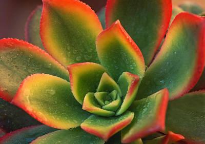 Aeonium Photograph - Succulent by Kathy Yates