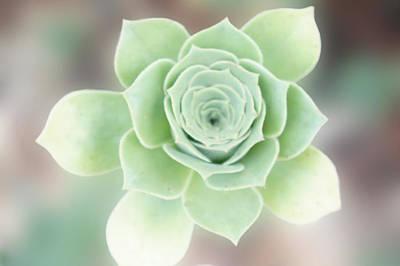 Flower Photograph - Succulent Plant by Art Spectrum