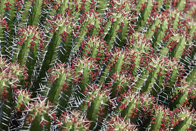 Photograph - Succulent Series Vi by Suzanne Gaff