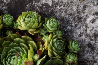 Chicks And Hens Photograph - Succulent by Tom Druin
