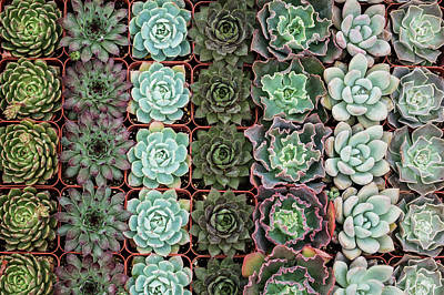 Photograph - Succulent Tray by Allen Sheffield