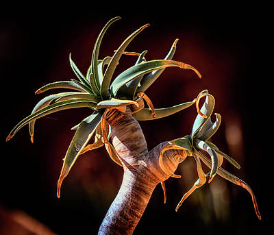 Photograph - Succulental Tangularity by Brian Brandt