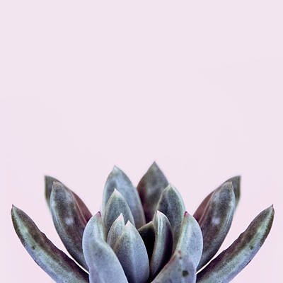 Succulents Flowers Pink Art Print by Ana Martinez