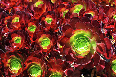 Photograph - Succulents by Lynn Bauer