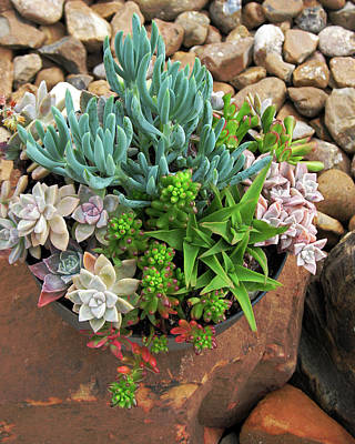 Photograph - Succulents On Rock by Connie Fox