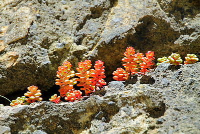 Photograph - Succulents On The Oregon Coast by Laurel Talabere