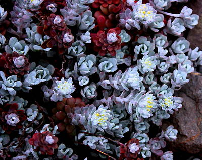 Digital Art - Succulents Sedum by Dreamweaver Gallery