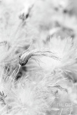Photograph - Suendermann Dryad Seedhead Monochrome by Tim Gainey