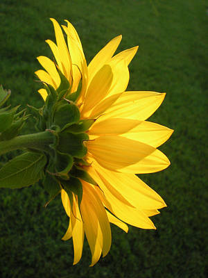 Photograph - Suffolk Sunflower by Evelyn Odango