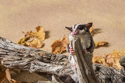 Photograph - Sugar Glider by Les Palenik