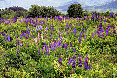 Photograph - Sugar Hill Lupine Field by Wayne King