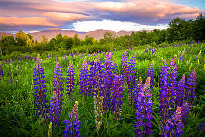 Photograph - Sugar Hill Lupines by Robert Clifford